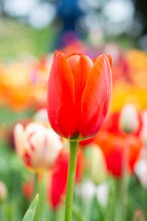 Beautiful tulips flower for postcard beauty concept design Standard-Bild