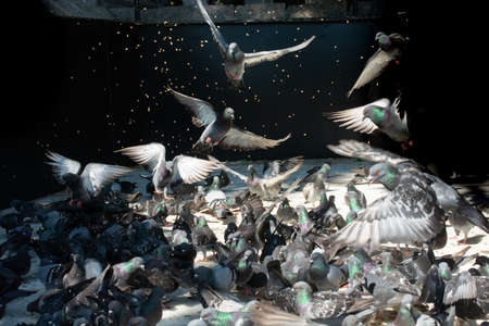 Lovely pigeon birds ,  city doves by live in an urban environment Standard-Bild