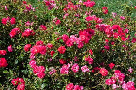 Blooming beautiful rose flowers in spring garden Standard-Bild