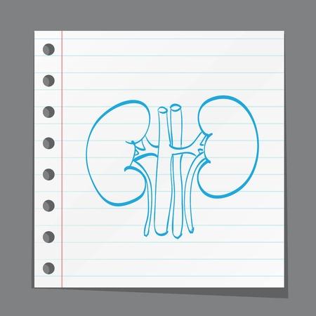 kidney anatomy medicine on paper