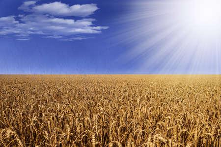 wheather: wheat field with rain and sun Stock Photo