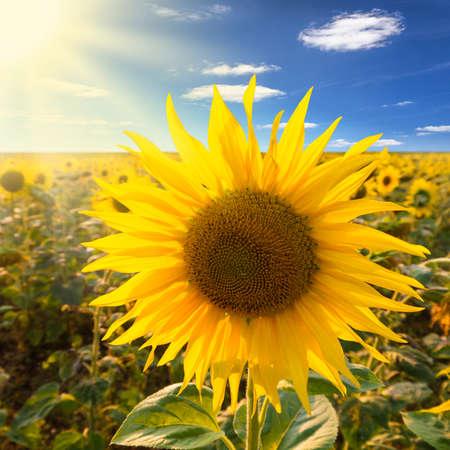 sun flower: sunflower on a field