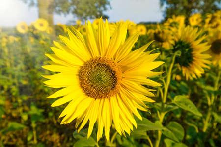 sunfloweron um campo
