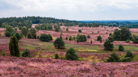 Lueneburg Heath Stock Photo