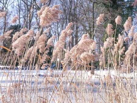 gramineas: pastos en un lago en invierno