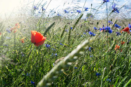 grass, poppy, cornflower and corn near a field in summer photo