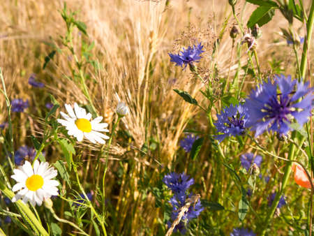 camomile, cornflower, barley near a field in summer photo