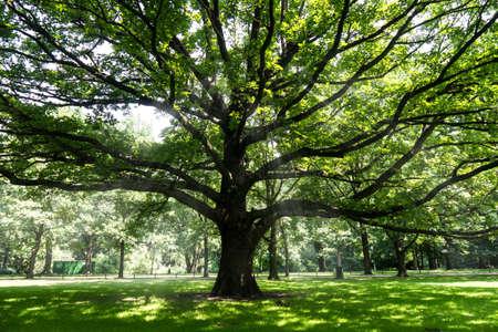 old tree and sumbeams in berlin tiergarten in summer