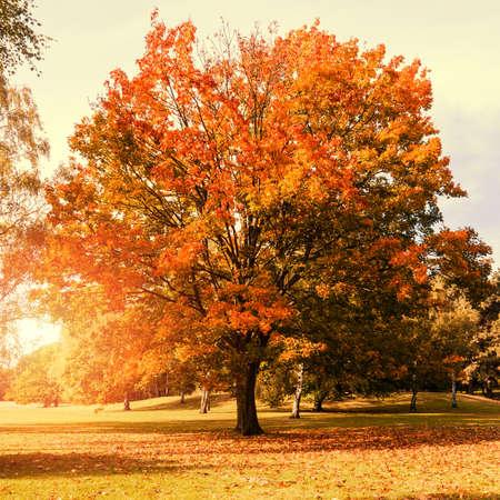 Ahornbaum im Herbst mit Sonnenlicht (orange Farbe) Standard-Bild