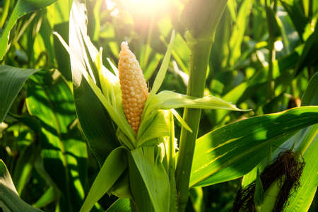 corn cob in a field and in the sun Stock Photo