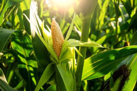 espiga de milho em um campo e ao sol