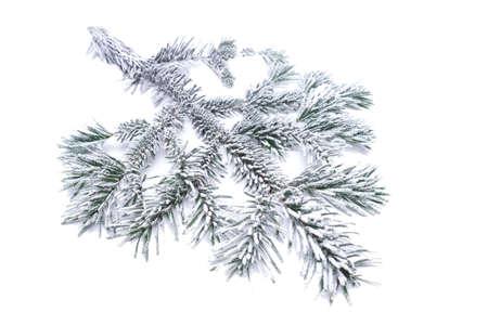 pine branch: frozen pine branch isolated
