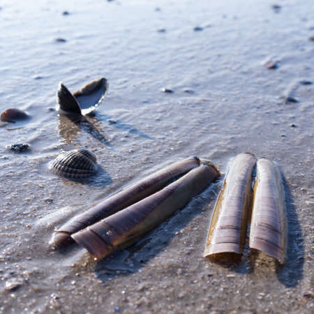 ensis: mussels in sand at the beach Stock Photo