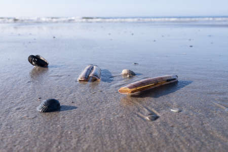 ensis: mussels at the beach (north sea)