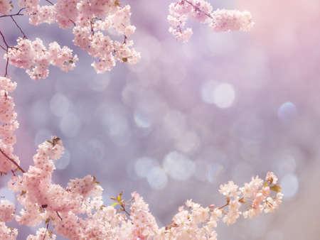 日本の桜の木の背景 写真素材