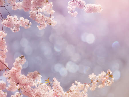 Japanese cherry tree background