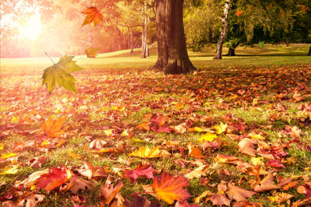 falling leaves of autumn tree and sunshine Stock Photo