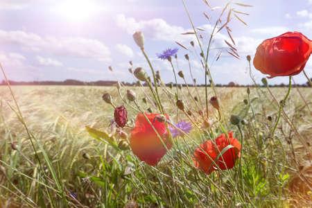 poppy on field in summer photo