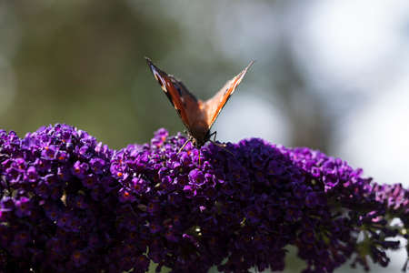 lepidopteran: Brown butterfly on flower