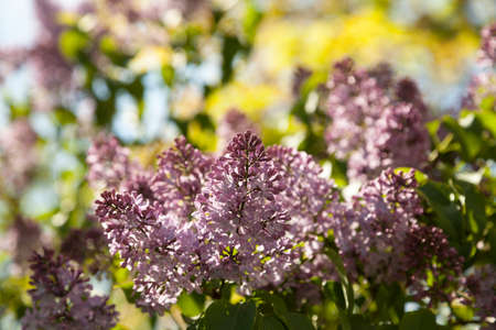 to thrive: Lilac in spring time