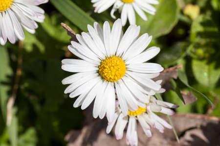 prosper: Daisy close up Stock Photo