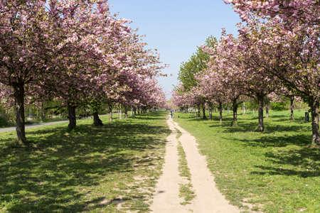 Japanese cherry branch in spring