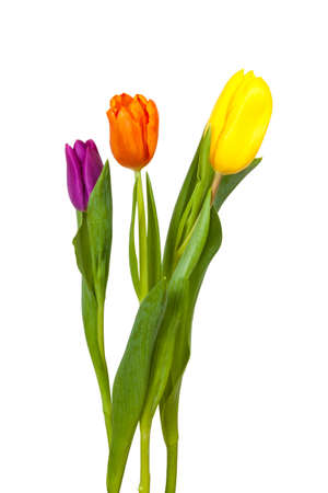 Violet, orange and yellow tulip on white background