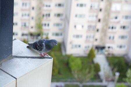 pigeon bird standing Reklamní fotografie