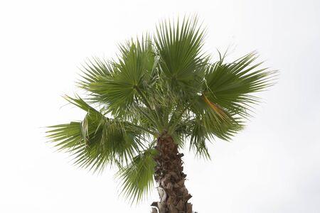 Palm tree white sky background. Isolated Archivio Fotografico