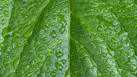 Rain drops on green leaf. Big water drop Water on green leaf. Фото со стока