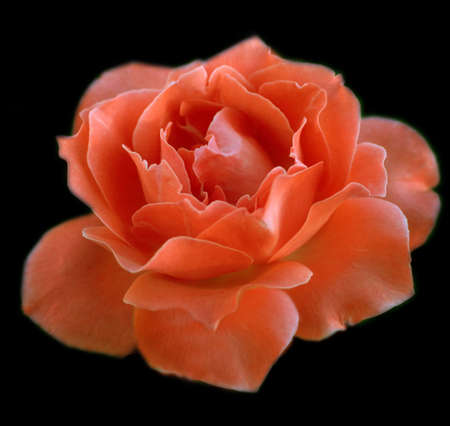 A Perfect Orange Rose Reklamní fotografie - 3404174