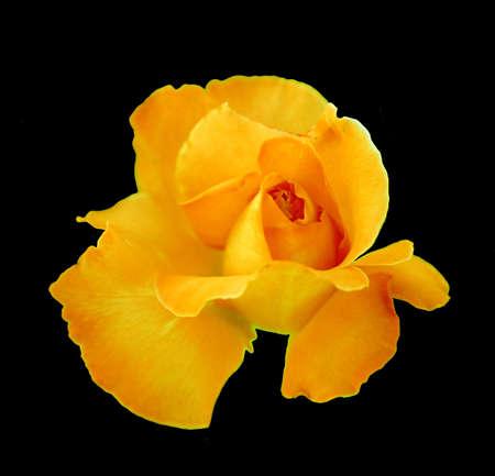 Yellow Rose Reklamní fotografie - 3404173