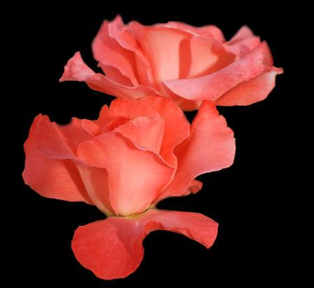 Two mazing roses Reklamní fotografie
