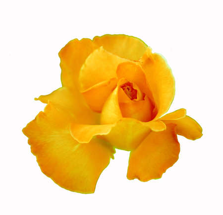 A simple yellow rose