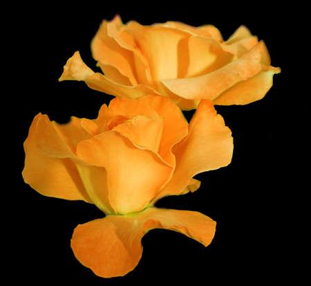 Lovely Yellow Roses Reklamní fotografie