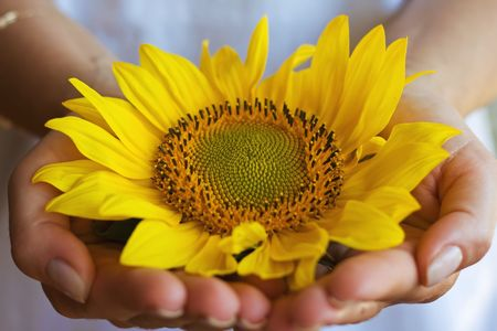 slap: Woman hold delicate a sunflower in her hands