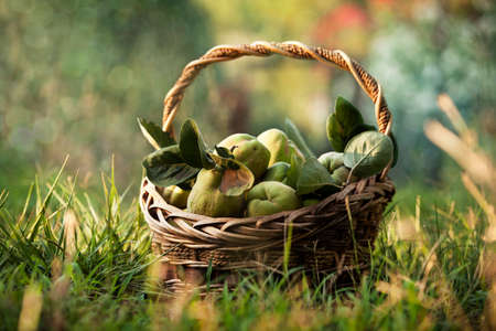 A basket of freshly picked quinces in a sunny garden Stockfoto