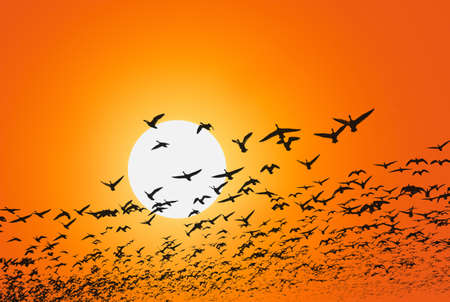 Geese are flying in front of a red sky