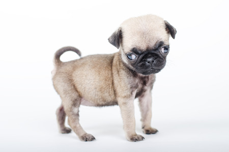 squeaky clean: Newborn pug puppy, studio shot.