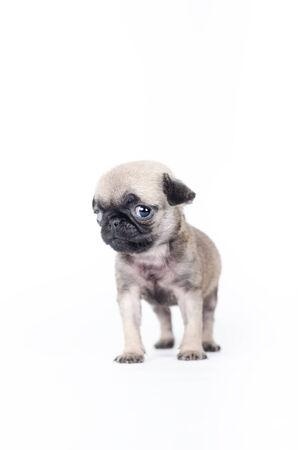 squeaky clean: Newborn pug puppy, studio shot.