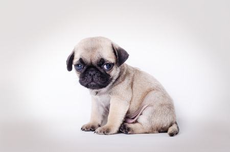 lonliness: Cute puppy, studio shot Stock Photo