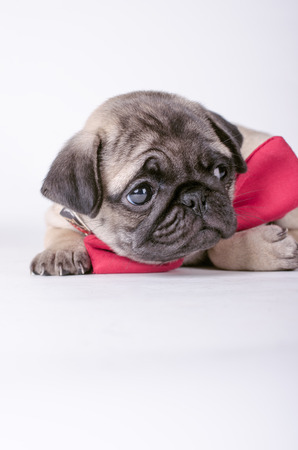 lonliness: Cute pug puppy with the bow-tie looking on the side. Stock Photo