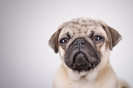 fawn: Studio shot  of the squinting fawn pug portrait Stock Photo
