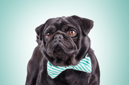 carved letters: Studio shot of the black pug with a tie on green background.