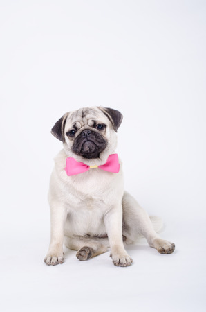 Pug posing with a bow tie. Studio shot Stock Photo - 36086212