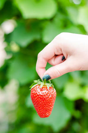 vertical composition: Female hand holding homegrown strawberry. Vertical Composition