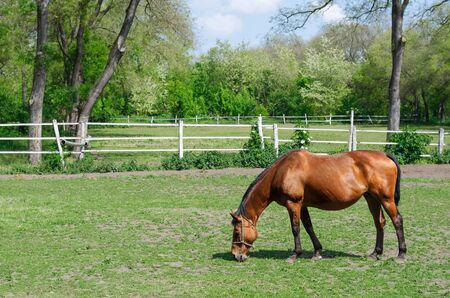 pasturage: Domestic Brown Horse on the field