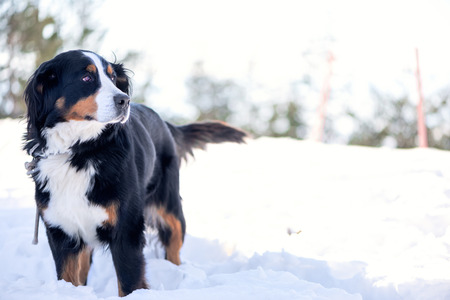one dog: Bernese Mountain Dog in the snow looking away. Focus on the eye, shallow depth of field, blow out highlights in the background.
