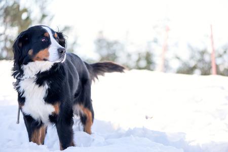 blow out: Bovaro del Bernese sulla neve in cerca di distanza. Focus sugli occhi, profondit� di campo, spegnere luci in background. Archivio Fotografico