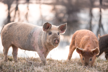 warmer: Young mangalitsa, furry pig, pasturing on the field at  sunset. Selective focus, warmer tones Stock Photo